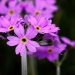 Bird's Eye Primrose (Jan Plue).